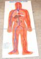 modelo del sistema circulatorio humano