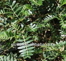 100% Natural Tribulus terrestris P. E 40%, 50%,70% 90% Total Saponins