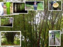 Bamboo Vulgaris from Fiji Islands