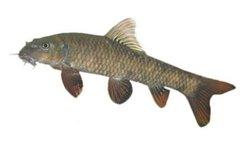 Garra Rufa, Doctor Fish For Sale