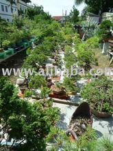 Junipers bonsai plant