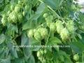 100% naturelles pure huile essentielle de houblon( humbles lupulus)