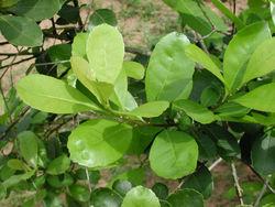 100% Natural High Quality Polyphenol-Yerba Mate Extract