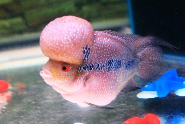 Big Head Flower Horn Fish