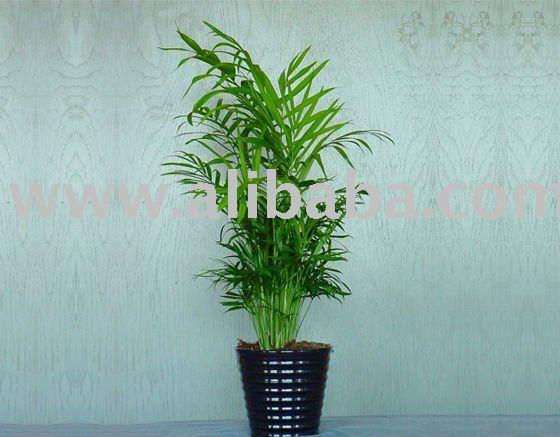 Wohnzimmer palme waldige anlagen produkt id 108393543 for Wohnzimmer palme