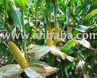 Corn Grain