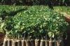Jatropha Saplings for Bulk Supply