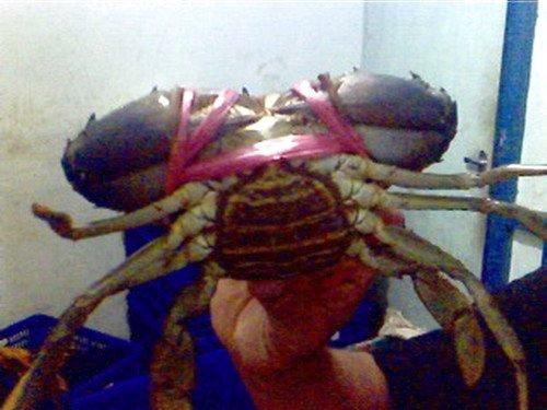 green/red/black mud crab
