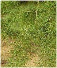 Satavari Dried Root for Sale