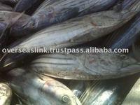 Morocco Overseas Piece 7 Days Poly Box Packaging Quality A Fresh Tuna