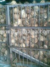 Matured coconut