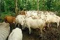 Goats, Buffaloes
