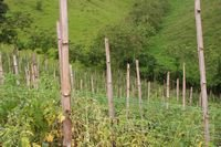 Guadua Bamboo Poles for agriculture, Home & Garden Decor.