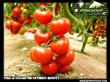 (GROW BEAUTY) HYBRID TOMATO SEEDS