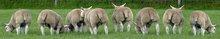 live lambs