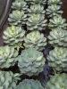 agave potatorum variegated