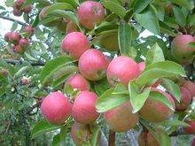 Idared apple