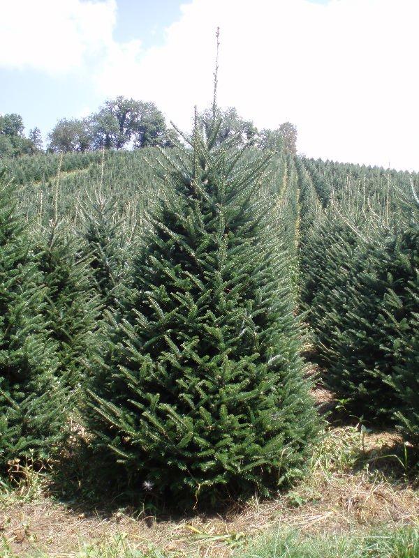 abeto fraser los árboles de navidad