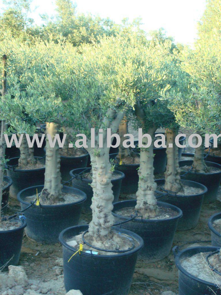 de árboles de oliva
