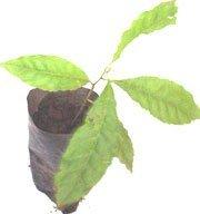 Rudraksha plants
