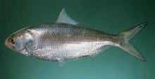Hilsa 500/800 grammes poissons