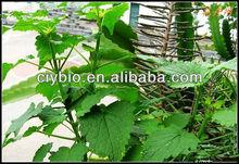 Headache medicine 100% Natural Fineleaf Schizonepeta Herb Extract Powder Cat Nut Extract 10:1