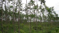 Albizia Wood
