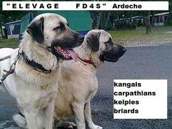 kangals carpathian kelpies puppies