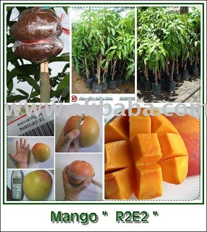 Images of Mango Plant Grafted R2e2 Mango Plant