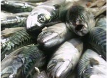 Iceland frozen Whole round mackerel