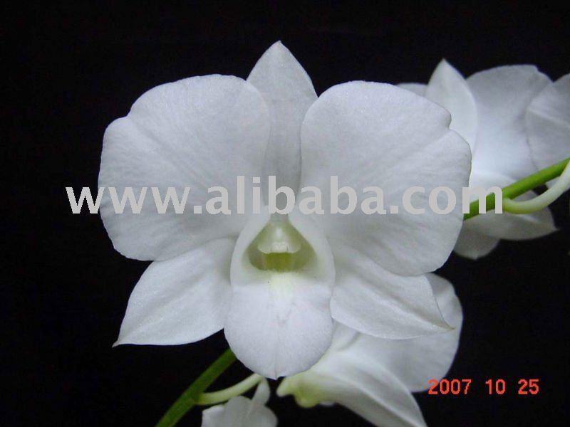 White Dendrobium Orchid Plant Dendrobium Orchid Plant