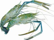 Scampies( camarón de agua dulce)
