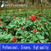 100% Pure and Natural Radix Notoginseng Extract Notoginseng triterpenes 60%