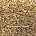 حبوب القمح الاسترالي العضوية