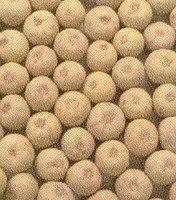 Fresh Sapota Fruits