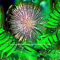 Huile de mimosa( acacia dealbabta)