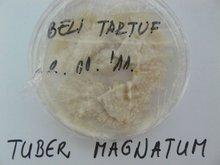MICELIUM FOR TUBER MAGNATUM/TUBER AESTIVUM