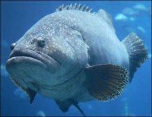 qazi fish