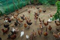 Quenns chicken