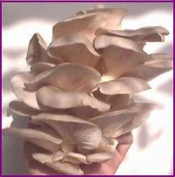 Pleurotus Florida