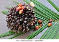palm oil land