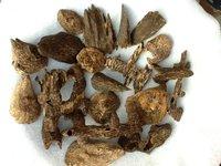 Agarwood Aquilaria crassna