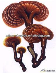 reishi mushroom extract triterpenes