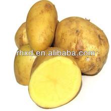 2013 cosecha de papa fresca de color amarillo patatas holanda