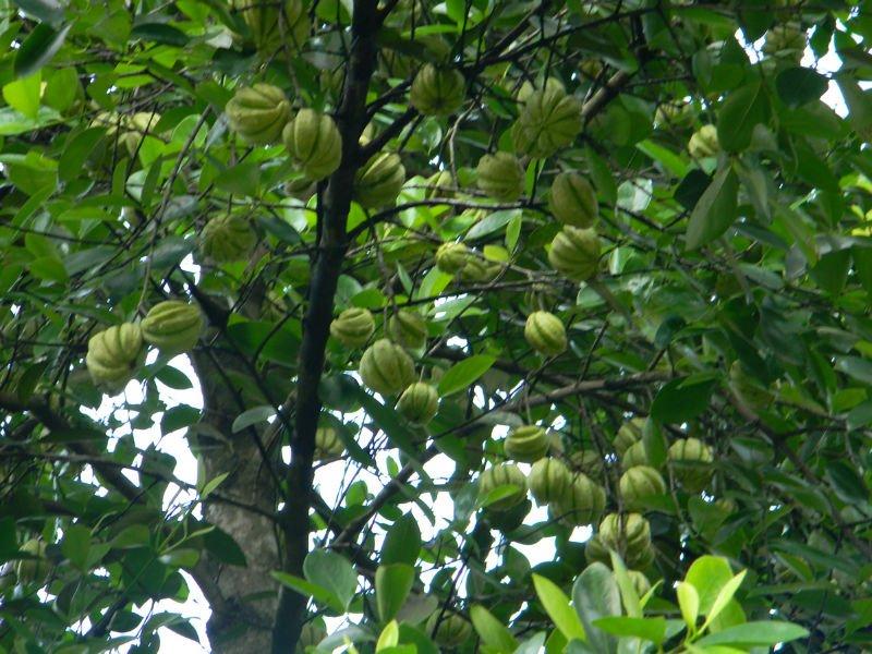 Garcinia cambogia extract 60% HCA,View Garcinia cambogia extract ...