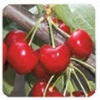 Red fresh cherry VAN from Bulgaria