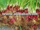 Bawang Dayak ( Eleutherine palmifolia )