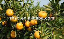 fresh citrus fruit mandarin orange from china