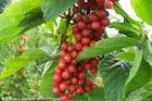 100% Natural Schisandra Berries P.E.