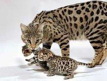 Savanah kittens